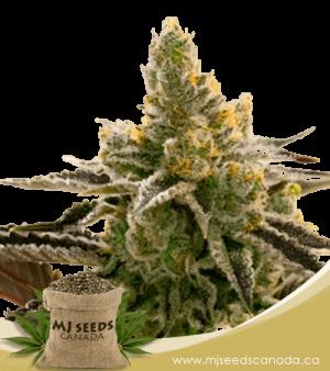 24k Gold Feminized Marijuana Seeds