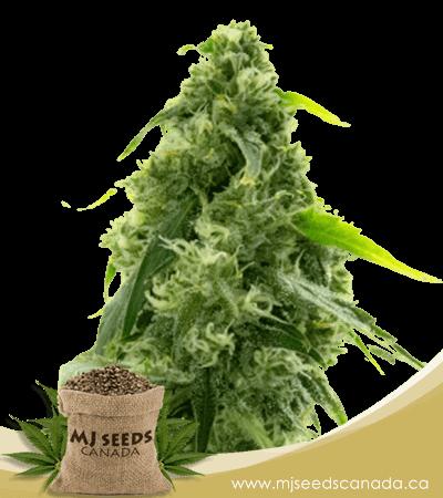 ak-47 autoflowering marijuana seeds