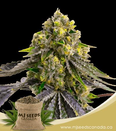 Afghan Autoflowering Marijuana Seeds