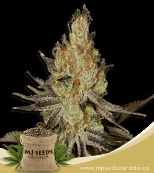 Agent Orange Regular Marijuana Seeds