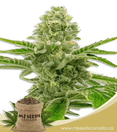American Haze / California Haze Feminized Marijuana Seeds