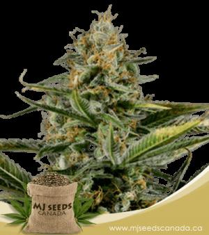 Amnesia Kush Autoflowering Marijuana Seeds