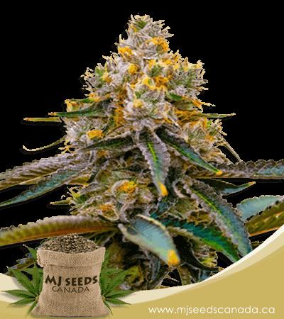 Amnesia Purple Feminized Marijuana Seeds