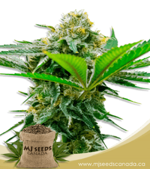 Auto CBD Cheese Marijuana Seeds