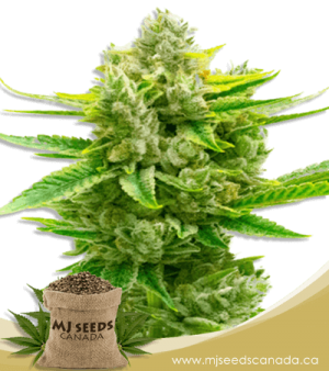 Auto CBD Critical Mass Marijuana Seeds
