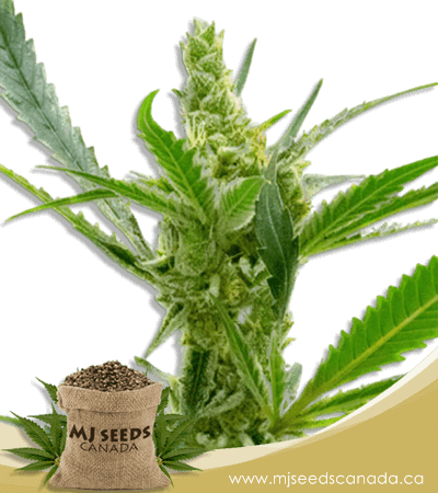 Auto CBD Kush Marijuana Seeds