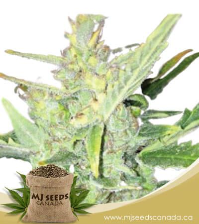 Big Bud Fast Version Marijuana Seeds