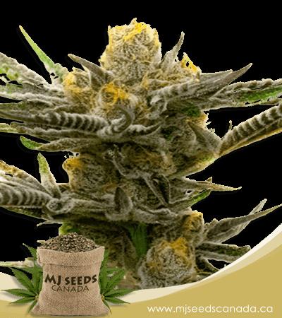 Black Demon Og Feminized Marijuana Seeds