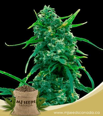 Blue Widow Feminized Marijuana Seeds