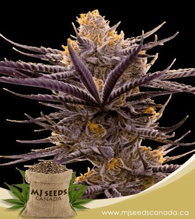 Blueberry Badazz OG Feminized Marijuana Seeds