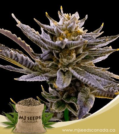 Blueberry Autoflowering Marijuana Seeds
