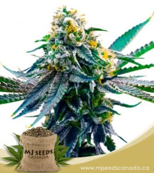 Blueberry x Big Bud Autoflowering Marijuana Seeds