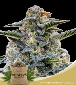 Bruce Banner Regular Marijuana Seeds