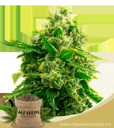Bruce Banner Autoflowering Marijuana Seeds