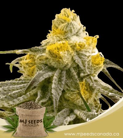 Bubba Gift Feminized Marijuana Seeds