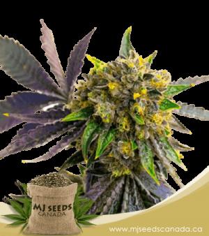 Bubba Kush Autoflowering Marijuana Seeds