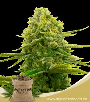 Bubblegum Autoflowering Marijuana Seeds