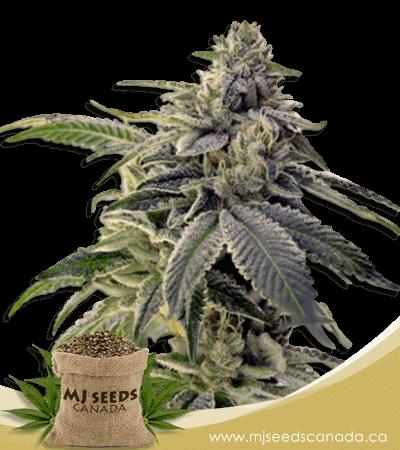 Candyland High CBD Marijuana Seeds