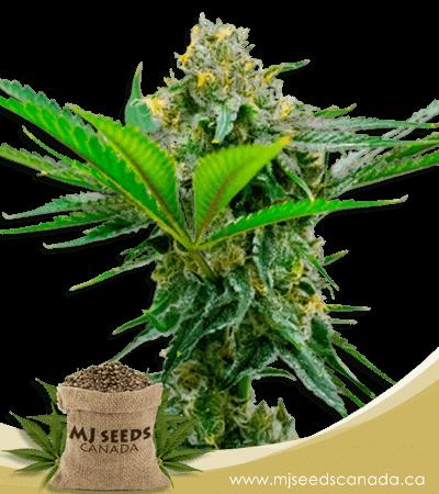Cheese High CBD Marijuana Seeds