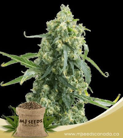Chemdog #4 High CBD Marijuana Seeds