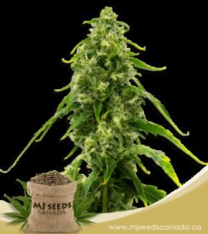 Harlequin Kimbo Kush High CBD Marijuana Seeds