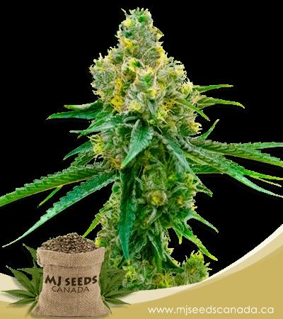 Harlequin High CBD Marijuana Seeds
