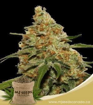 CBD Kush High CBD Marijuana Seeds