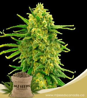 Mexican High CBD Marijuana Seeds