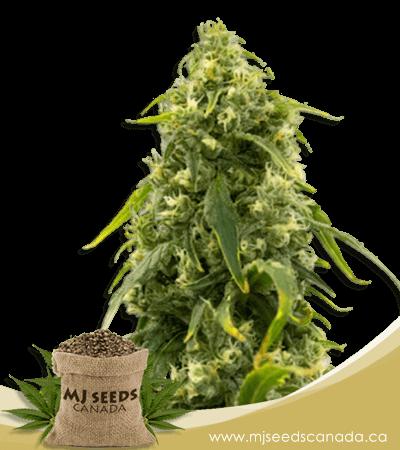 Sour Tangie High CBD Marijuana Seeds