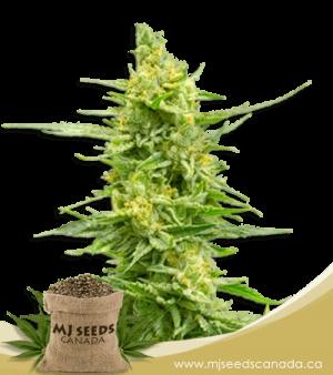 Strawberry Kush High CBD Marijuana Seeds