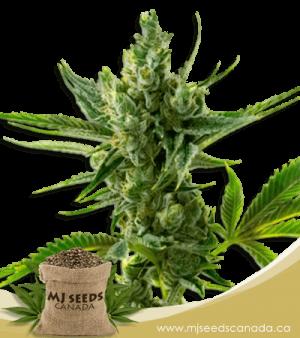 Super Silver High CBD Marijuana Seeds