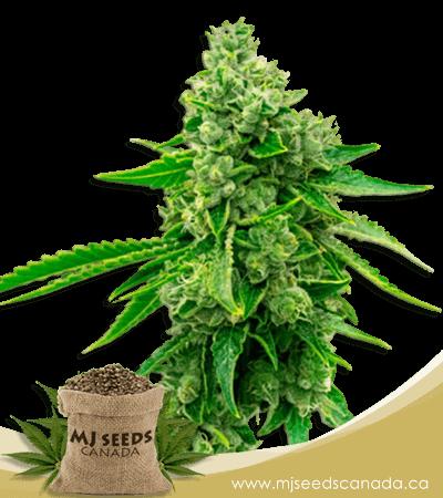 Tangie High CBD Marijuana Seeds