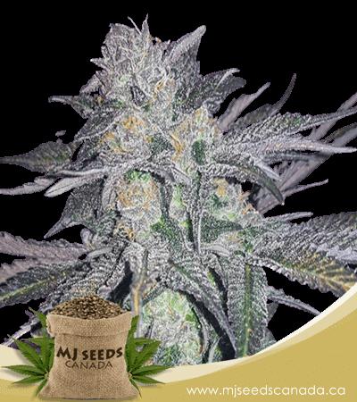 White Widow High CBD Marijuana Seeds