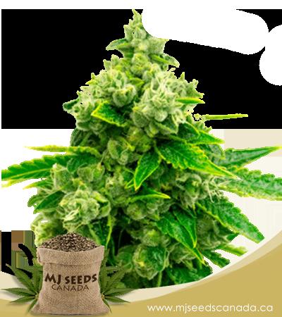 Candy Kush Feminized Marijuana Seeds