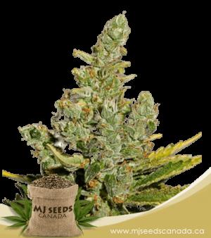 Cheese Autoflowering Marijuana Seeds