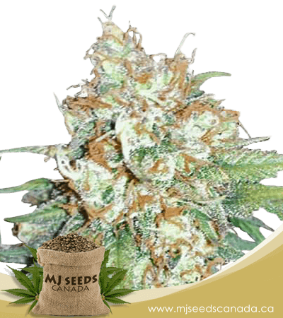 Cherry Pie Feminized Marijuana Seeds