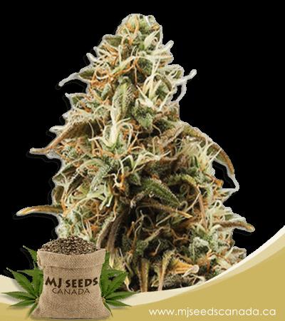 Chocolope Candy Regular Marijuana Seeds