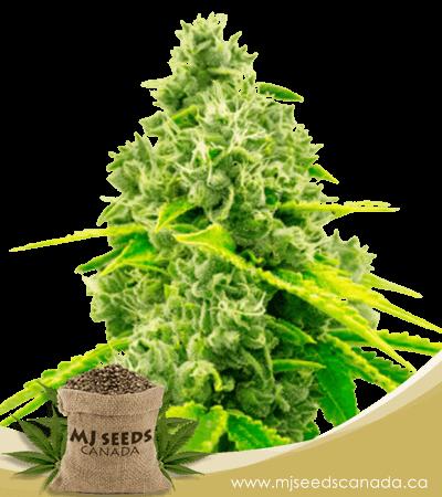 Chocolope Feminized Marijuana Seeds