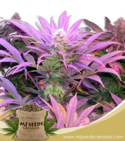 Cream Autoflowering Marijuana Seeds