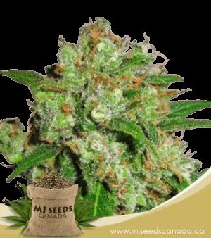 Cream Candy Autoflowering Marijuana Seeds