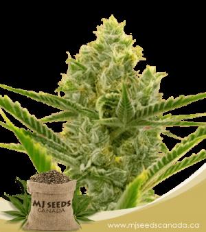 Critical + 2.0 Autoflowering Marijuana Seeds