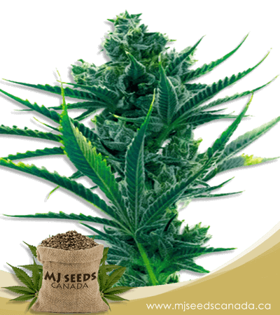 Critical Blue Feminized Marijuana Seeds