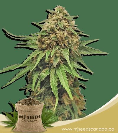 Critical + Feminized Marijuana Seeds