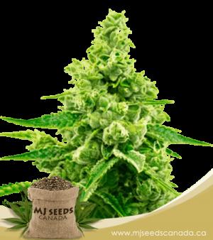 Critical Mass Autoflowering Marijuana Seeds