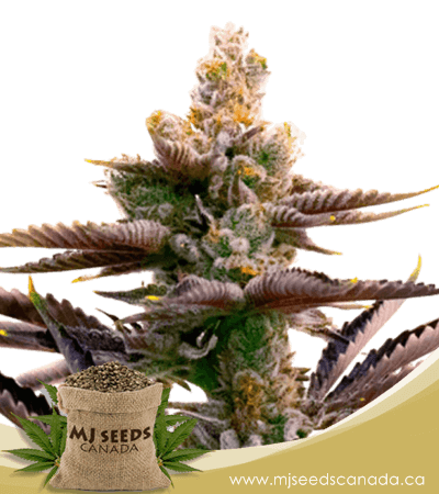 Critical Purple Autoflowering Marijuana Seeds