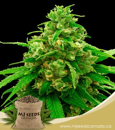 Critical Widow Feminized Marijuana Seeds