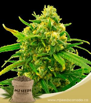 Critical Autoflowering Marijuana Seeds