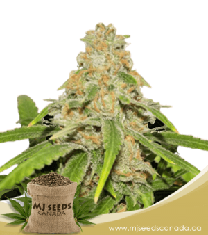 Critical x Faster Buds Autoflowering Marijuana Seeds