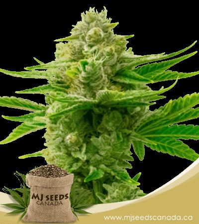 Critical x Gorilla Glue #4 Autoflowering Marijuana Seeds