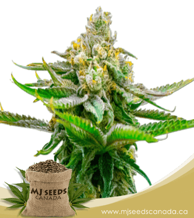 Devil XXL Autoflowering Marijuana Seeds